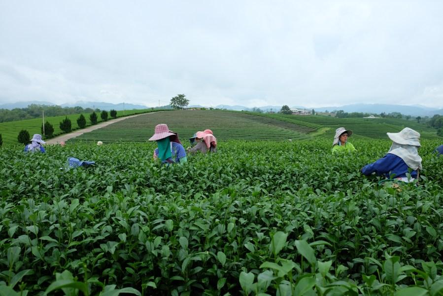 Choui Fong Tea Plantation,抹茶蛋糕,泰國景點,清萊府,清萊景點,清萊茶園,翠峰茶園 @VIVIYU小世界