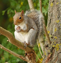 Grey squirrel with lunch