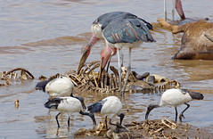 Kenya - Birds