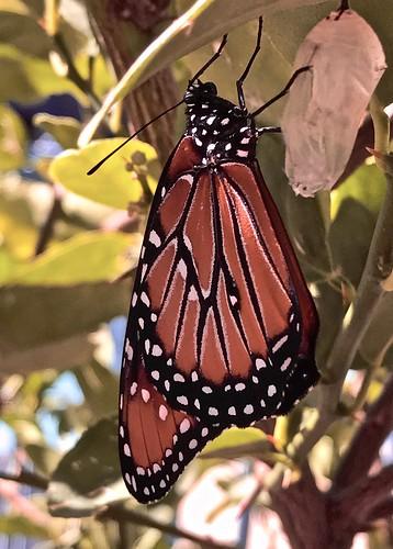 butterfly chrysalis white unfolds wings new hatched tucson arizona americansouthwest southwesternusa migration autumn mexico monarch colorful newlyhatched leaf citrustree sunshine deepshade veranda flowerpot winter destinationmexico