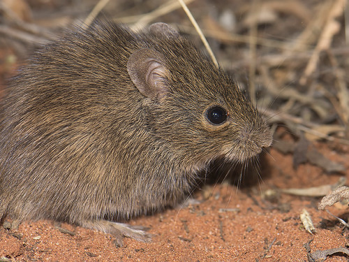 """Desert Mouse - Pseudomys desertor - Curtain Springs, NT • <a style=""""font-size:0.8em;"""" href=""""http://www.flickr.com/photos/95790921@N07/37521850201/"""" target=""""_blank"""">View on Flickr</a>"""