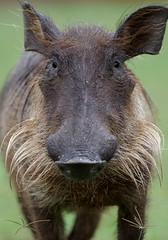 Wart-hog.     Uganda