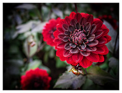 Late Summer Red Dahlia