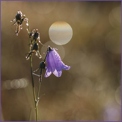 "Gentiaanklokje • <a style=""font-size:0.8em;"" href=""http://www.flickr.com/photos/140030218@N08/37566748481/"" target=""_blank"">View on Flickr</a>"