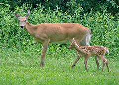 """Deb Putman - Doe and Fawn in Preble <a style=""""margin-left:10px; font-size:0.8em;"""" href=""""http://www.flickr.com/photos/9089158@N06/37390037831/"""" target=""""_blank"""">@flickr</a>"""