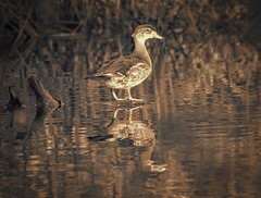 Wood Duck in Sepia