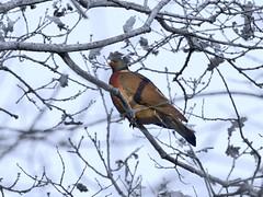Eine Taube in Tilst Stadtpark, Dänemark-1