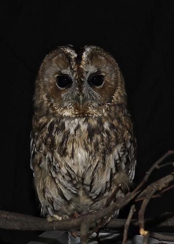 Tawny Owl Staring At Me