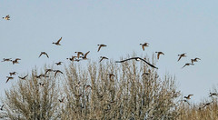 Flock of Pintails chased by Bald Eagle