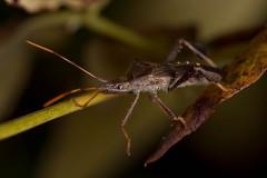 Leaf footed bug - Coreidae sp.