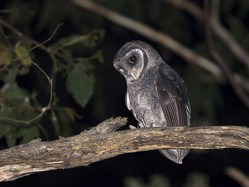 "Sooty Owl - Tarago State Forest - 19/11/2017 • <a style=""font-size:0.8em;"" href=""http://www.flickr.com/photos/95790921@N07/38457965186/"" target=""_blank"">View on Flickr</a>"