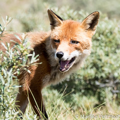 Fox-3