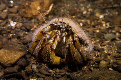 "Hermit Crab (Pagurus bernhardus) • <a style=""font-size:0.8em;"" href=""http://www.flickr.com/photos/51511072@N04/38181690661/"" target=""_blank"">View on Flickr</a>"