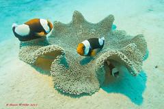 Saddle back anemone fish (Ampiprion polymnus)