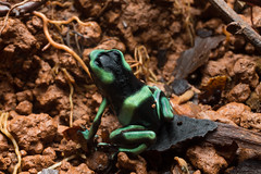 "Deep black dart frog • <a style=""font-size:0.8em;"" href=""http://www.flickr.com/photos/152658701@N05/26955513429/"" target=""_blank"">View on Flickr</a>"