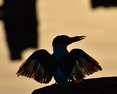 A Blue Breasted Kingfisher at sunset. Kotu Point, Gambia