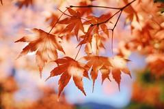 福壽山農場 - 淡紅楓葉