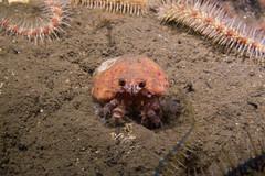 "Hermit Crab (Pagurus prideaux) & Cloak Anemone (Adamsia palliata) • <a style=""font-size:0.8em;"" href=""http://www.flickr.com/photos/51511072@N04/39105539852/"" target=""_blank"">View on Flickr</a>"
