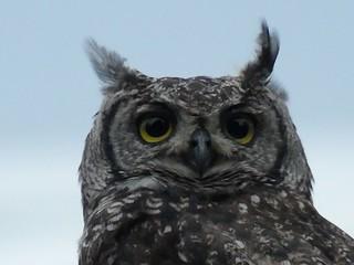 Shayamoya owl Nandi, KwaZulu-Natal