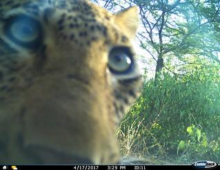 Umkhumbi curious leopard eyeing a camera trap