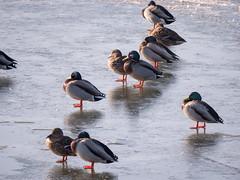 Berlin, Marzahn: Entenversammlung auf dem Eis des Wuhleteichs neben dem noch offenen Zufluss - Mallards crowding on the ice of the Wuhle pond next to the open water of the Wuhle's inflow