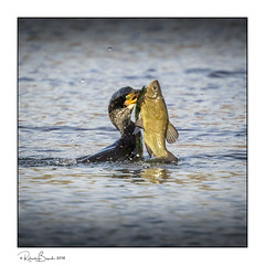Cormorant with huge Tench!