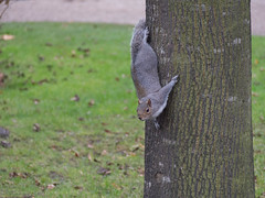 A Squirrel in the Regent's Park