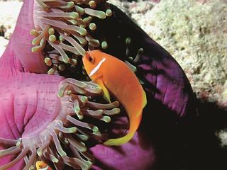 Constance Tsarabanjina diving: clown fish