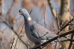 Ringeltaube auf einem Baum - Wood pigeon sitting on a tree