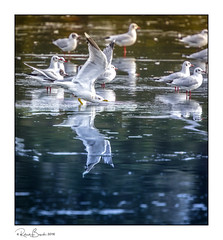 Tipping point - gulls on sheet ice