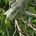 "Iguana eyes open • <a style=""font-size:0.8em;"" href=""http://www.flickr.com/photos/140804122@N06/39595932954/"" target=""_blank"">View on Flickr</a>"