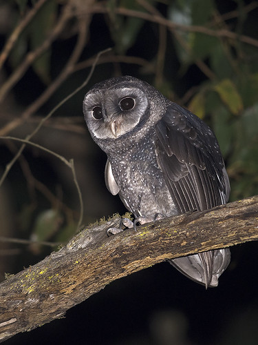 """Sooty Owl - Tarago State Forest, Vic • <a style=""""font-size:0.8em;"""" href=""""http://www.flickr.com/photos/95790921@N07/24152761517/"""" target=""""_blank"""">View on Flickr</a>"""