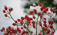 Snowy rose hips