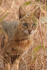 Jungle Cat India