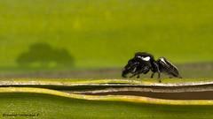 araña y su sombra
