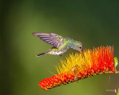 Kolibri-0807
