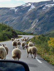 Follow the Sheeps