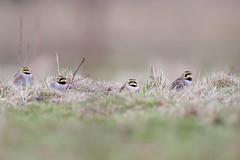 Horned Lark | berglärka | Eremophila alpestris