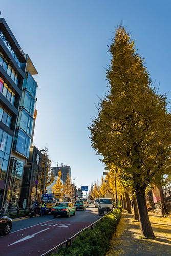 Gingko Tree / 銀杏