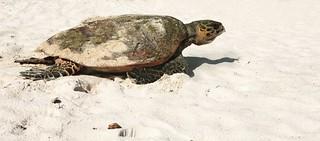 Constance Lemuria turtle hatchling