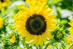 Sunflower opening