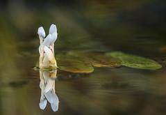 Japanse waterlelie