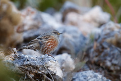 Alpine Accentor | alpjärnsparv | Prunella collaris