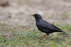 Spotless Starling | svartstare | Sturnus unicolor