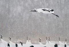 Snow JP107106