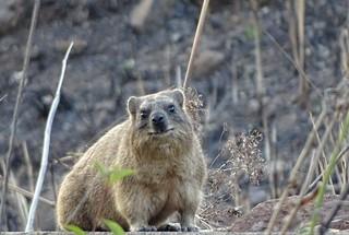 rock hyrax, Drakensberg