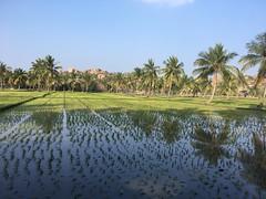 Reisfelder in Hampi