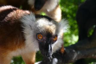 Nosy Komba female Black Lemur