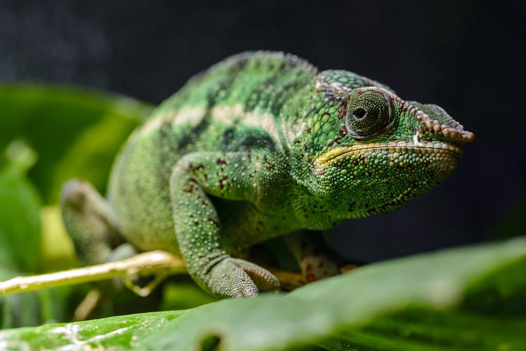 Panther chameleon (Furcifer pardalis) by hape662, on Flickr