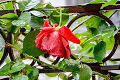 Red Rose - Tbilisi - Georgia